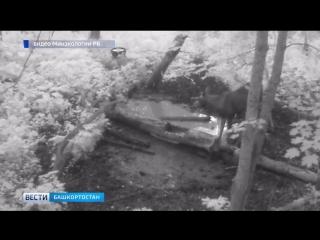 Фотоловушки запечатлели лося в одном из природных парков Башкирии