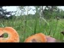 Poxod-v-les-поход-в-лес- настоящий груздь рыжики ищем по запаху 27 июля 2017 грибы-gru-grib-sol-texh-scscscrp