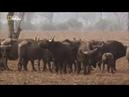 Война за территорию. Львы и бегемоты Nat Geo WILD HD