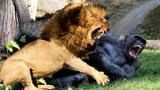 LIVE Wild Animals Fighting 2018 Leopard, Wild Boar, Lion, Crocodile, Gorilla, Baboon Big Battle