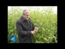 Завершение эксперимента по борьбе топинамбура с борщевиком
