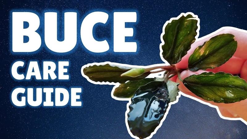 BUCEPHALANDRA CARE GUIDE | How to Plant, Grow Propagate Buce