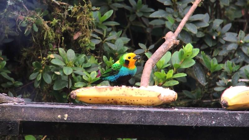 Multicoloured tanager / Черноухая цветная танагра / Chlorochrysa nitidissima