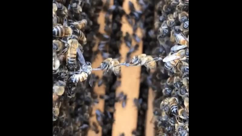 Bees measure the distance between the frames of comb by holding each other's legs across the gap. The six legs of honey bees act