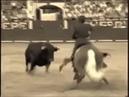 Конь Тореадор Мерлин разводит быка