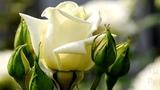 Petite fleur de Sidney Bechet