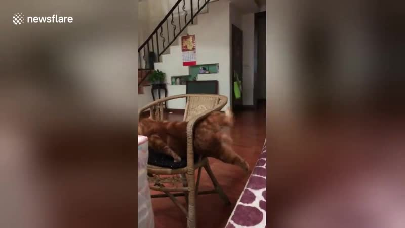 Fat cat gets hilariously stuck trying to wriggle through narrow gap on chair