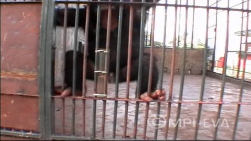 Urinating chimp is 'scientifically interesting'