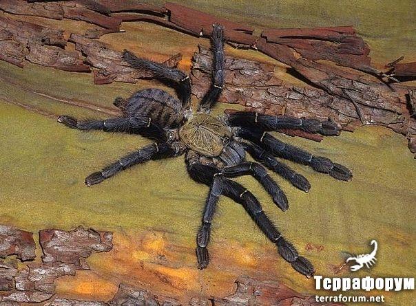 Cyriopagopus schioedtei