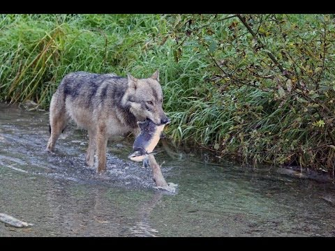 Wolf eating salmon after chasing grizzly away, Hyder, Alaska