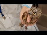 Очередная потерпевшая сова сплюшка на осмотре у ветеринара. Маленький комочек зла