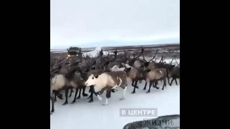 ВЦентреЖизниВоркуты | Побег оленей из забоя