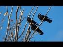 PA110110 грачи и ветер