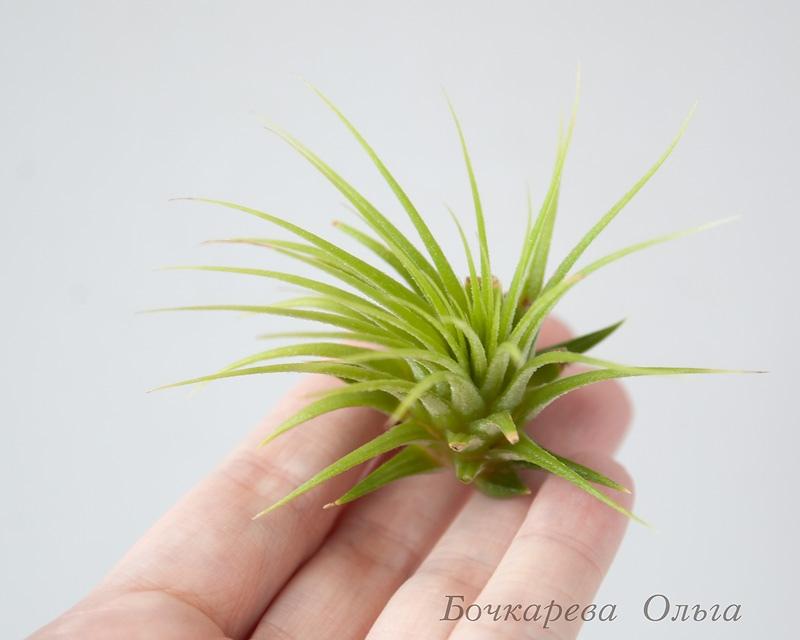 Атмосферные растения (тилландсия) DBTpQ9EddJg