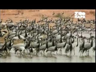 Эхо джунглей / ПЛЕМЯ БИШНОИ - ОХРАННИКИ ДИКОЙ ПРИРОДЫ