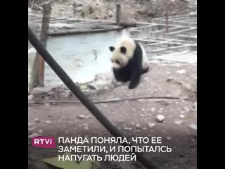 Панда ищет еду
