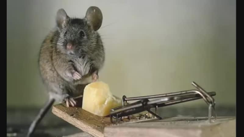 Семь способов которые помогут вам держать крыс Подальше от Вашего Дома