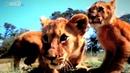 Два льва напали на прайд другова льва и захватили его Резултат просто шакирует