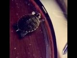 Turtle DABBING LMAO