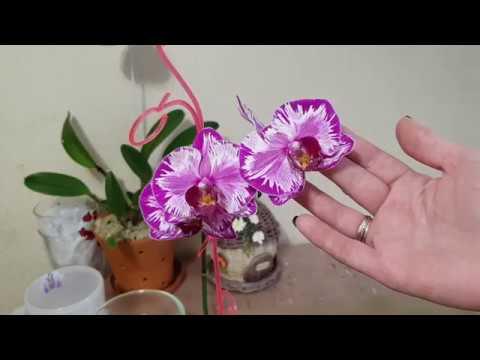 Орхидея теряет тургор Что делать Причины