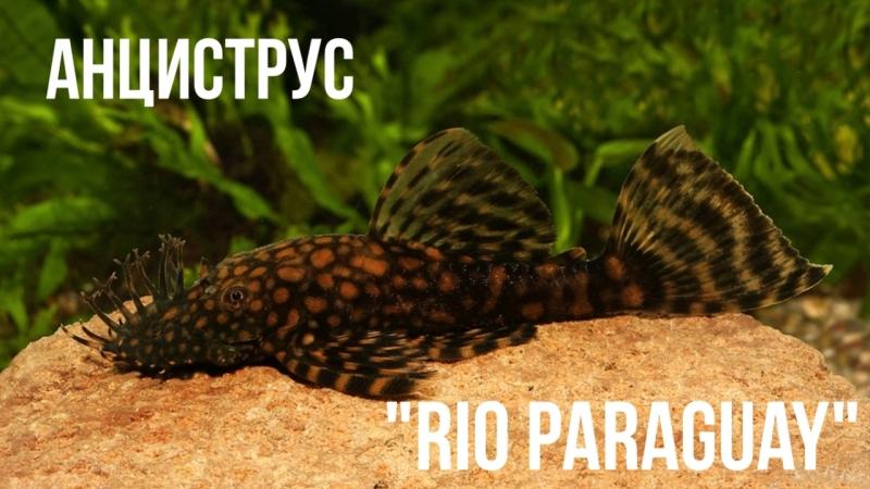 Анциструс Рио Парагвай Ancistrus Rio Paraguay