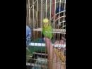 Приручаю попугайчика.
