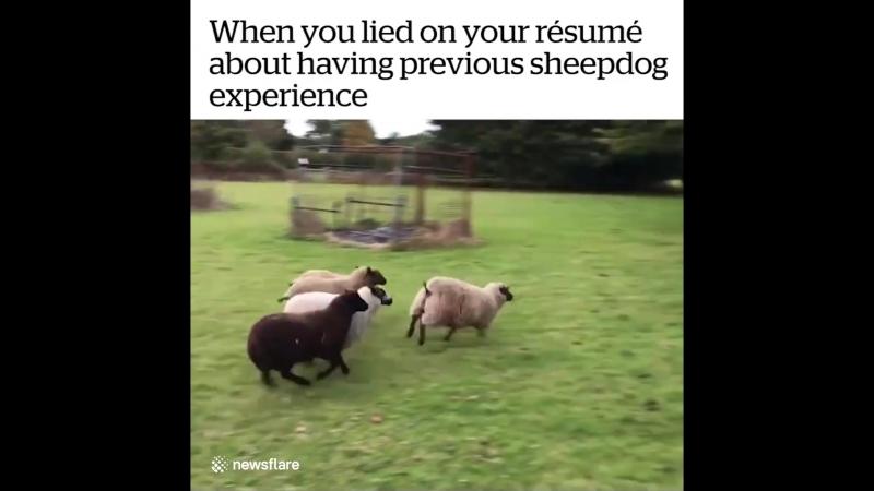 Когда на собеседовании соврал, что есть опыт в управлении овцами ))