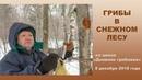 Грибы в снежном лесу Дневник грибника 8 декабря 2018 года