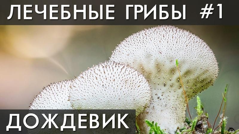 ГРИБ Дождевик. Гриб - пылесос! Уникальные лечебные свойства высших грибов. Фролов Ю.А.