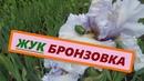 Методы борьбы с вредителем жуком бронзовкой в саду. Цветы ирисов увядают из-за вредителей