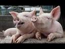 Стадо Хозяин свиней