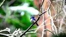 Hainan blue flycatcher Хайнаньская голубая мухоловка циорнис Cyornis hainanus