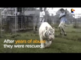 White Tiger, Lion Couple Living at Roadside Zoo Are FINALLY Freed _ The Dodo