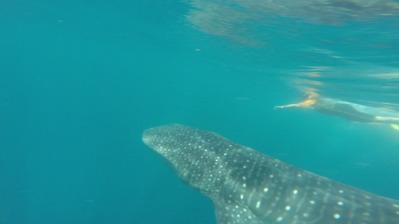 китовые акулы 1