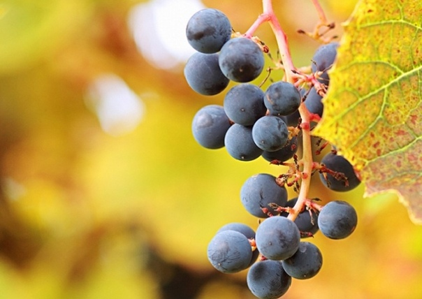 Виноград амурский - достойная альтернатива для средней полосы