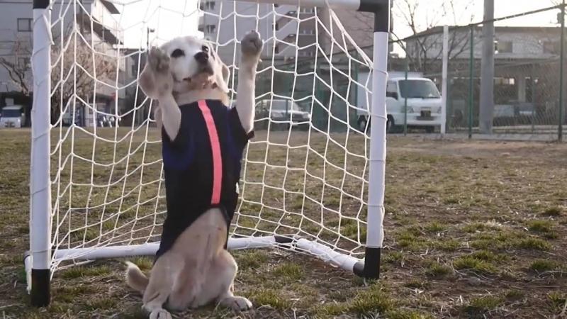 Собака вратарь. Собака играет в футбол (хорошее настроение, спорт, FIFA 2018, чемпионат мира, пес футболист, забавное видео).