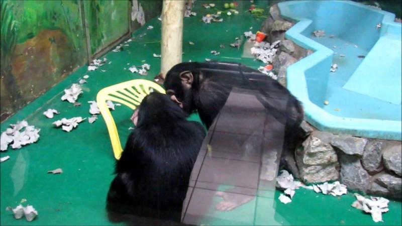 Шимпанзе Филя Люся и новый стульчик ч 1 22 01 19 г