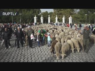 Парад овец_ в Мадриде прошёл фестиваль сезонного перегона скота