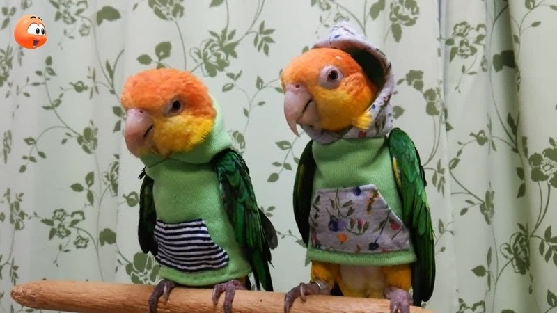 Cute Is Not Enough 🔴 Funny and Cute Parrot Videos Compilation 7