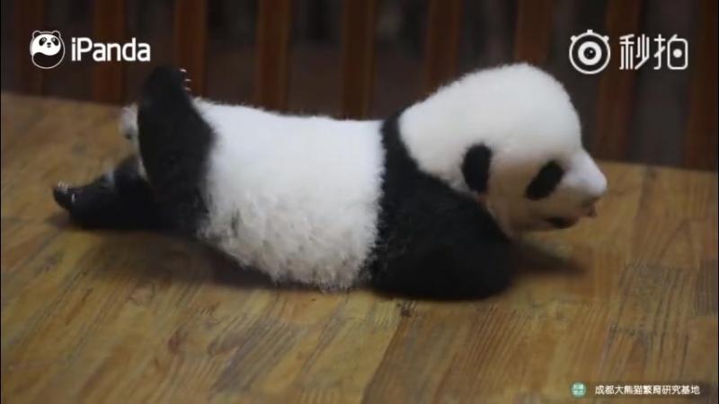 """【熊猫宝宝cos""""胖海豚""""】"""