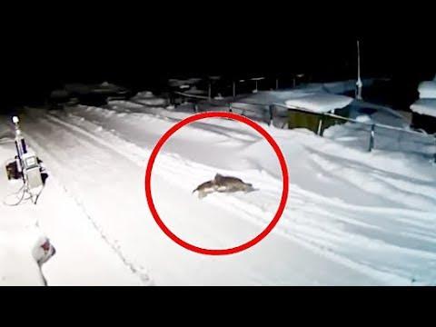 19 ВИДЕО хитрых волков январь 2019 Охота на волка