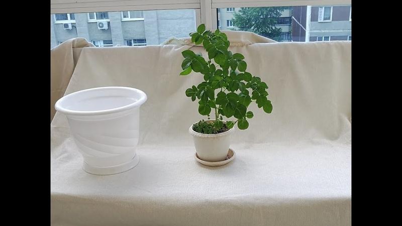 Выращивание картофеля дома. Картофель на балконе. Картошка в цветочном горшке.