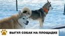 Выгул собак на площадке зимним утром
