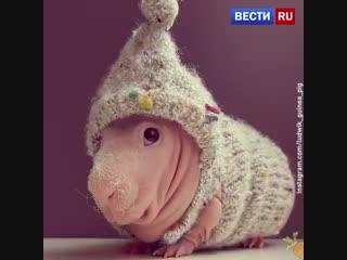 Людвик - самая популярная морская свинка интернета.