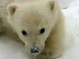 Growing Up Arctic Polar Bear