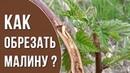 Обрезка ремонтантной малины весной Как делать обрезку малины весной Стеклянница на малине