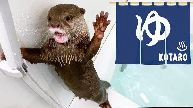 カワウソ コタロー 相変わらず面白い水鉄砲リアクション Kotaro the Otter Funny Reaction to Wat
