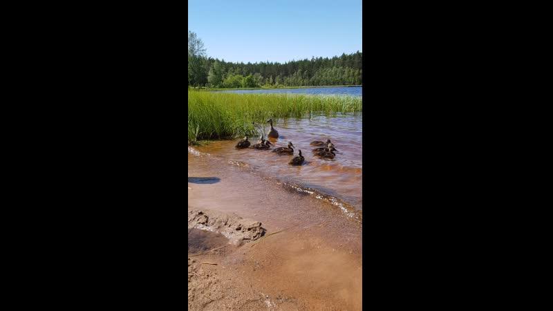 Уточки на озере ми ми ми