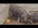 Ханьцзянская чёрная свинья Ханьцзян Хэй Чжу Технология разведения породы в городе Ханьчжун провинция Шэньси