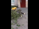 незаконный спил деревьев в Санкт Петербурге